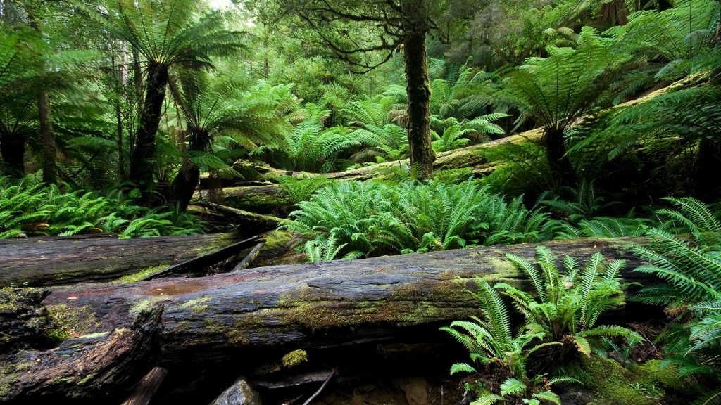 Ferns and treeferns from Mount Field National Park, giving an impression of how a Carboniferous rainforest might have looked.